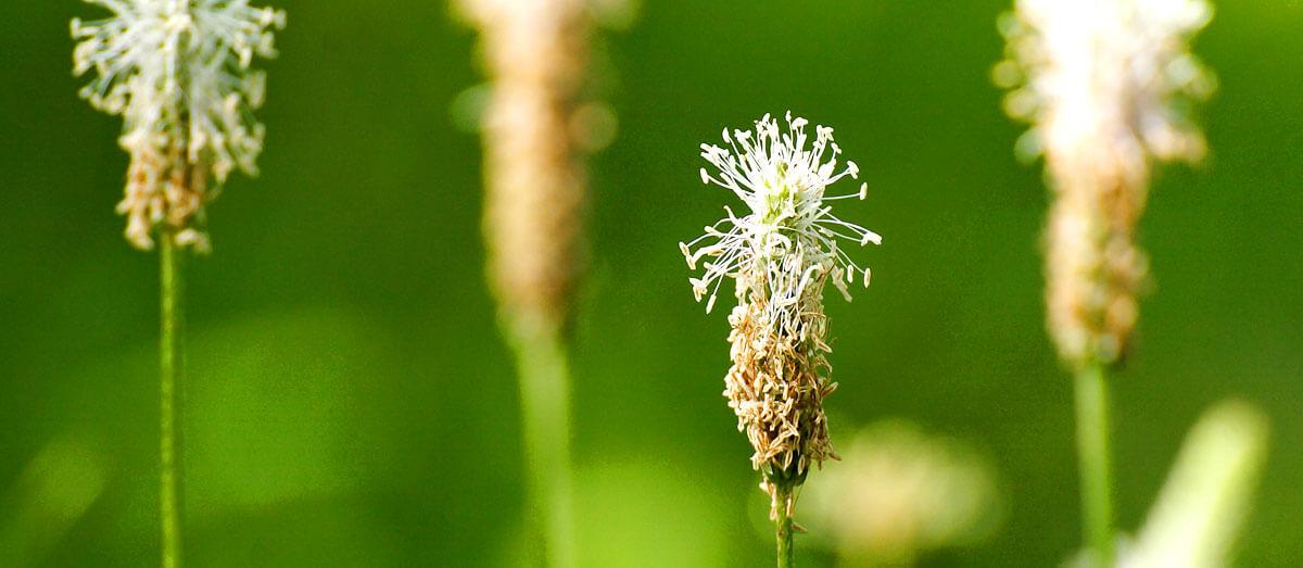 Bienenstich - Hausmittel Spitzwegerich
