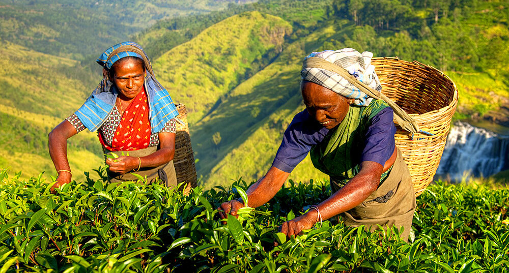 Tee-Ernte in Sri Lanka