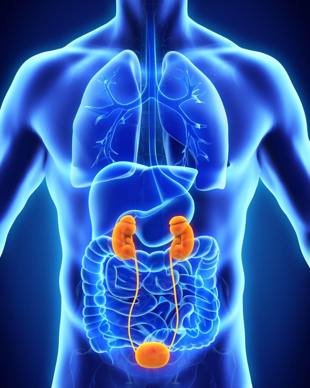 Wunderbar Lage Der Niere Fotos - Anatomie Und Physiologie Knochen ...