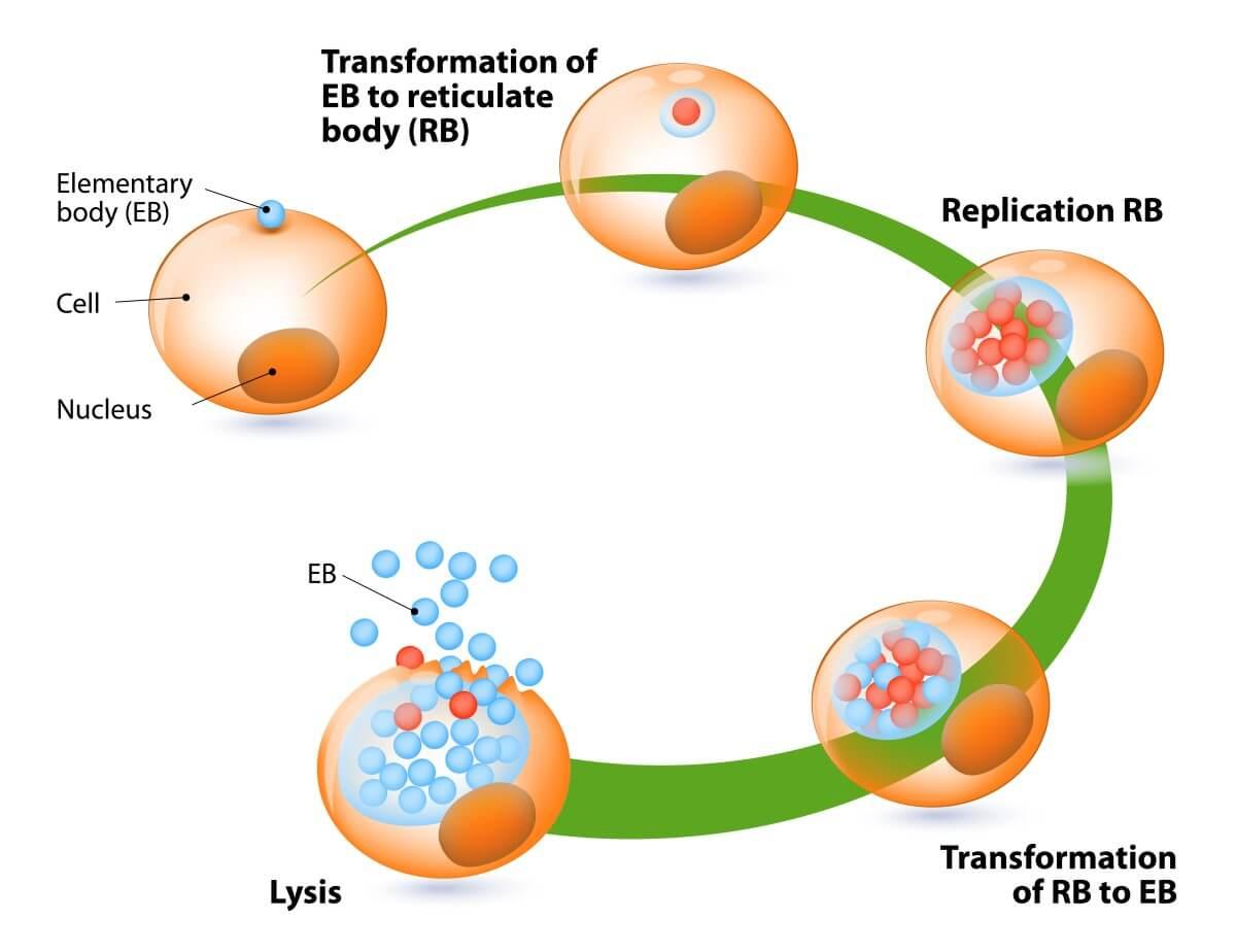 wie lange kann man chlamydien haben ohne es zu merken